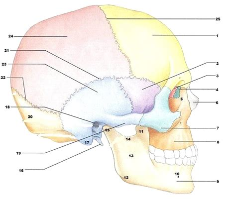 inside diagram diagram inside skull diagram