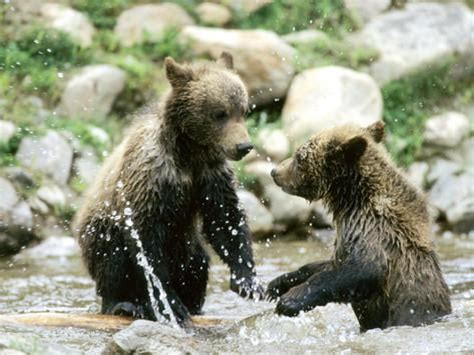 grizzly bear cubs playing grizzly bear cubs playing