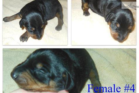 doberman puppies for sale near me doberman pinscher puppy for sale near atlanta d6a03f93 a811