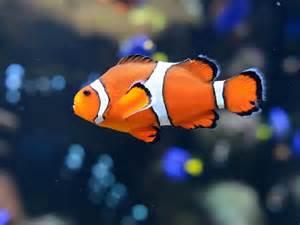la chachipedia el pez payaso apexwallpaperscom peces payaso como nemo nadan enormes distancias cuando son