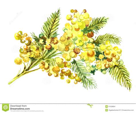 mimosa clipart aquarelle de mimosa de bouquet illustration stock