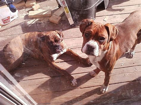 boxer puppies virginia barham boxers boxer breeder draper virginia