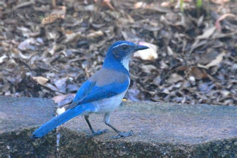 bird pictures california scrub jay formerly western