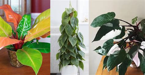 types  philodendron indoor philodendron varieties
