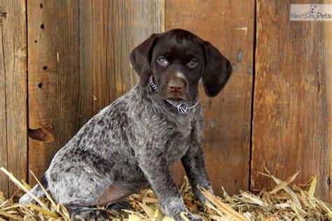 german shorthaired pointer puppies near me german shorthaired pointer puppy for sale near lancaster pennsylvania 1132fd26 2691