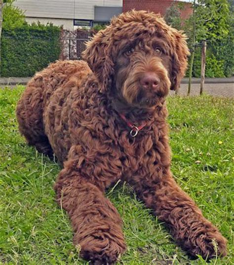 dogs with curly hair petyourdog pet your flandoodle with brown curly coat
