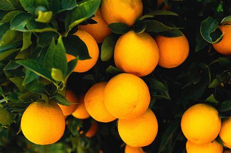 wallpaper daun orange orange trees clausen nursery