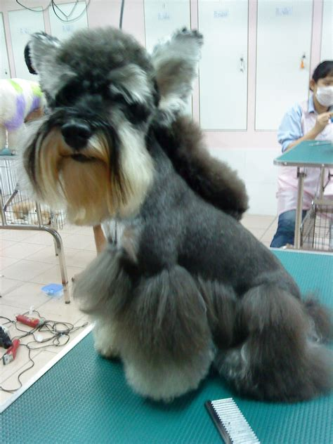 dufferent schnauzer haircuts pet grooming wond3rful animal