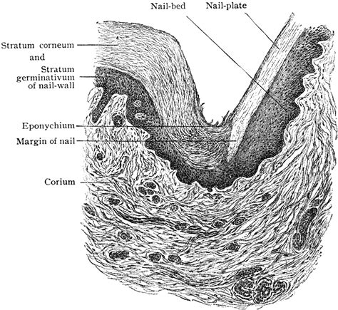 Transverse Section Of Fingernail Wall Clipart Etc