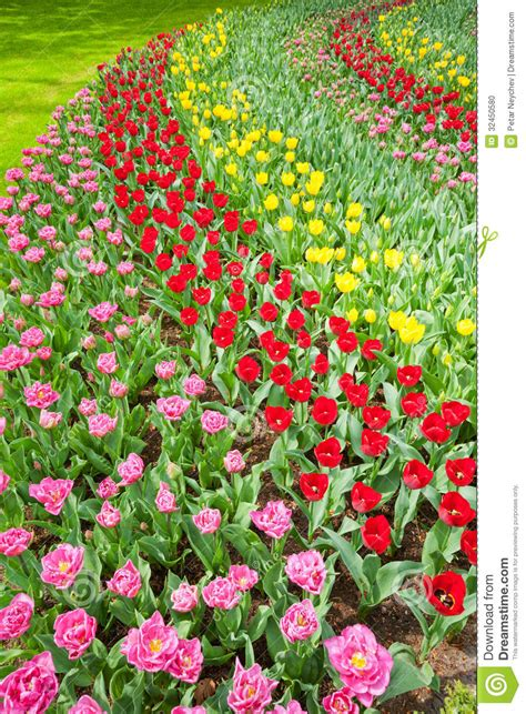 netherlands colors colorful tulips in bloom stock photo image 32450580