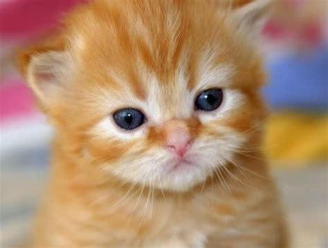 wallpaper anak kucing comel gambar kucing anggora cantik gambar kucing anggora gemuk