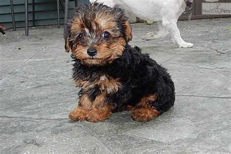 yorkie poo puppies for sale indiana yorkie poo puppies for sale in indiana image breeds picture