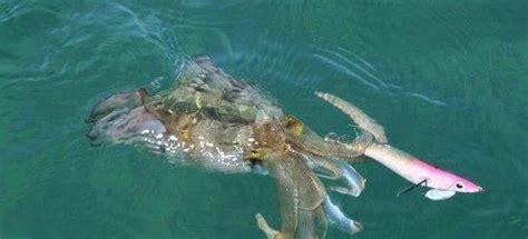 Umpan Squid Jig Udang jenis dan karakter cumi semua hal tentang memancing