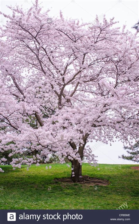 a prunus xyedoensis afterglow aka yoshino cherry tree stock photo royalty free image