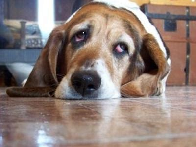 basset hound dogs basset hound dog breed info pictures petmd