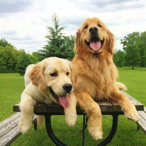 is a golden retriever a best 25 golden retrievers ideas on golden