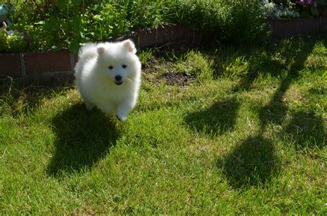 japanese spitz puppies for sale japanese spitz puppies for sale uk breeds picture