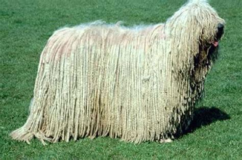 komondor puppy the komondor komondor images ground mammals