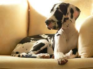 great dane colors harlequin danes of a different color photos of recognized and non