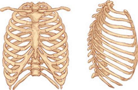 organi interni corpo umano lato destro illustrazione della gabbia toracica illustrazione