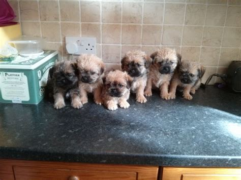 shih tzu x border terrier reduced adorable border terrier x shih tzu rochdale greater manchester pets4homes