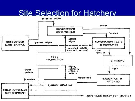 layout of shrimp hatchery hatchery production prawn seeds