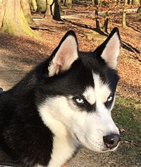 blue film on dogs eyes siberian husky wikipedia