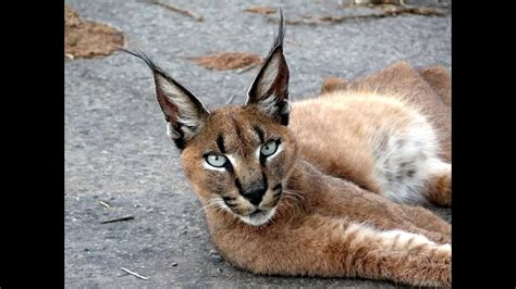 piu al mondo le 10 razze gatto piu pericolose al mondo