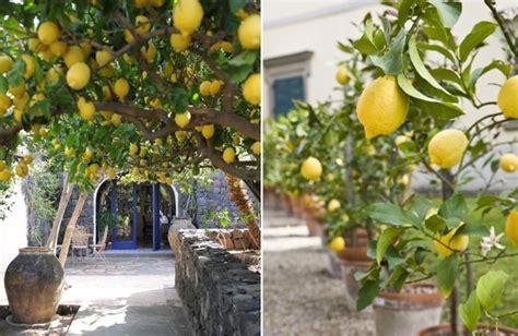 albero di limone in vaso foto albero di limone di valeria treste 307575