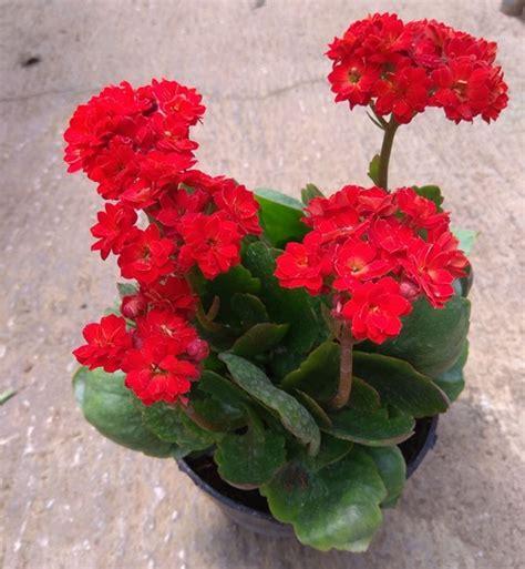 Kalanchoe Kuning 1 tanaman calandiva merah bibitbunga