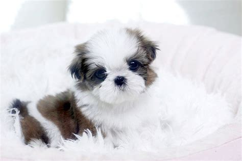 maltese puppies for sale los angeles 25 b 228 sta maltese puppies id 233 erna p 229 malteser
