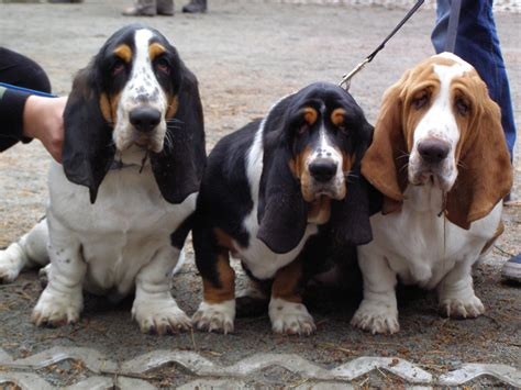 basset hound puppies basset hound puppies a scent hound breed