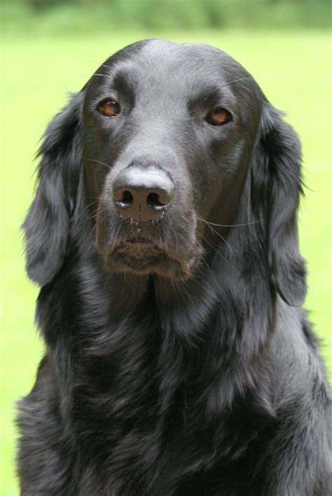 coat golden retriever best 20 flat coated retriever ideas on black golden retriever adorable