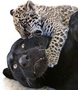 Jaguars And Panthers Jaguar Cubs Black Or Spotted Baby Animal Zoo
