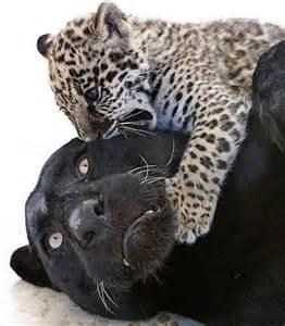 Jaguar Panther Jaguar Cubs Black Or Spotted Baby Animal Zoo