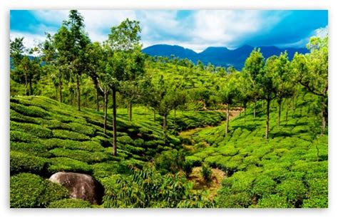 4k wallpaper kerala green tea field kerala india 4k hd desktop wallpaper for