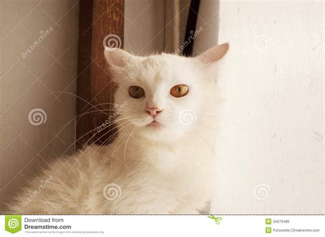 with ears back scared cat royalty free stock photo image 34570485