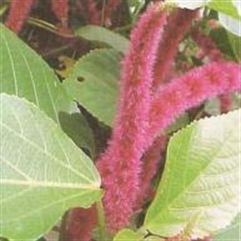 tumbuhan obat ekor kucing acalypha hispida burm