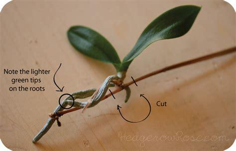 repotting a phalaenopsis orchid keiki