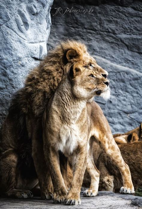 Wild Nature Sweepstakes - best 25 female lion ideas on pinterest fierce lion lion and lioness and lions in