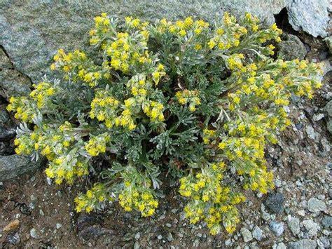 fiore artemisia artemisia storia leggende usi e linguaggio dei fiori