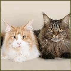 maine coon colors maine coon cats exposed the characteristics the myths