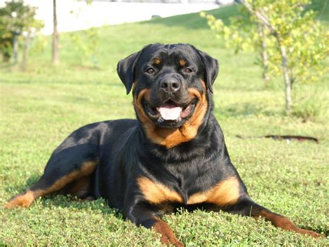 what are rottweilers bred for rottweiler all big breeds