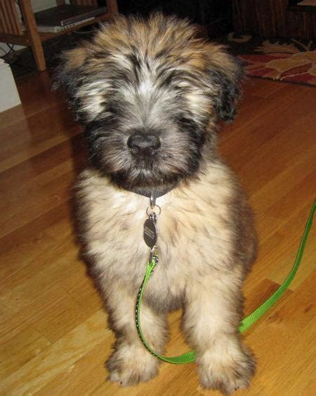 soft coated wheaten terrier puppy golden retriever puppies for sale