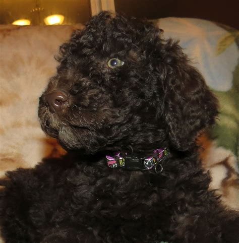 aussiedoodle puppies for sale pa aussiedoodle puppies for sale in pa breeds picture