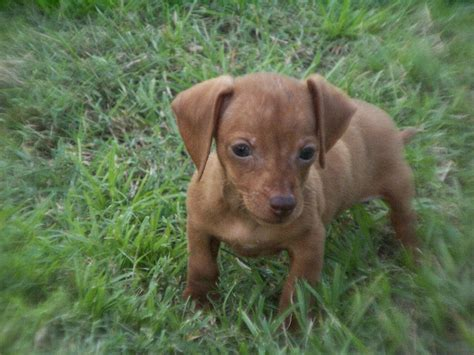 Miniature Dachshund, Puppies, Dogs, For Sale, In Columbia ...