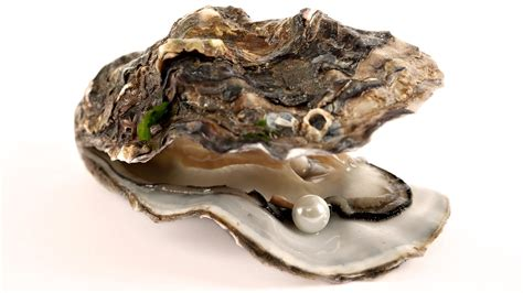 Oyster Shell L by All About Oysters Magic Oyster Restaurants