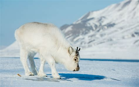 animals in the winter the best places to see penguins polar bears narwhals and