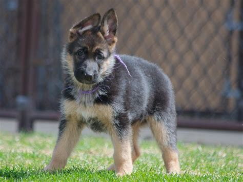 german shepherd puppies for sale in nd purple