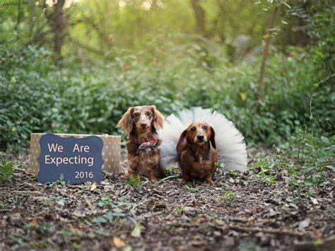 dachshund puppies idaho dachshund puppy photo shoot is so doggone abc news